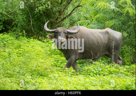 Wild water buffalo, Bubalus bubalus, Yala National Park, Sri Lanka - Stock Photo