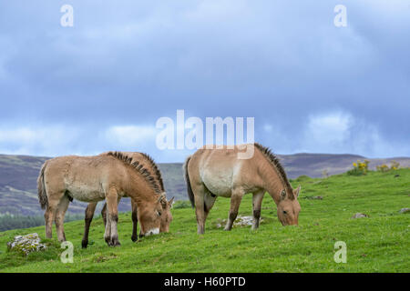 Przewalski horses (Equus ferus przewalskii) native to the steppes of Mongolia, central Asia grazing in grassland - Stock Photo