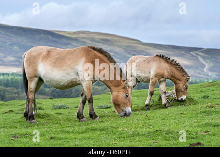 Two Przewalski horses (Equus ferus przewalskii) native to the steppes of Mongolia, central Asia grazing in grassland - Stock Photo