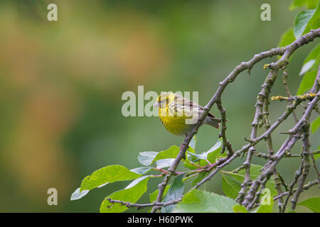 European serin (Serinus serinus) perched in tree - Stock Photo