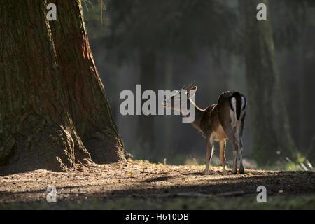 Fallow Deer / Damhirsch ( Dama dama ) standing on a clearing, dark woods, flehming, threatening in spotlight, typical - Stock Photo