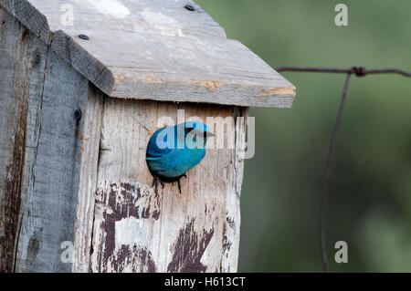 Male mountain bluebird (Sialia currucoides) at nest box, Elmore County, Idaho - Stock Photo