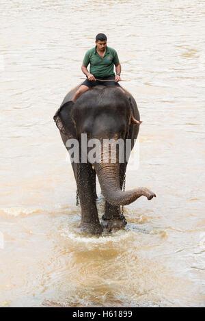 Handler riding an Asian elephants in the river, Pinnawala Elephant Orphanage, Sri Lanka - Stock Photo