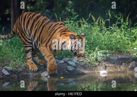Bengal tiger comes to a water swamp to drink at Sunderban National Park. - Stock Photo