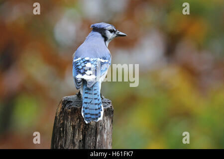 A blue jay perching on a post in Fall - Stock Photo