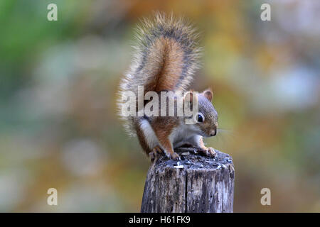 An American red squirrel (Tamiasciurus hudsonicus) sitting on a fence post in Fall - Stock Photo