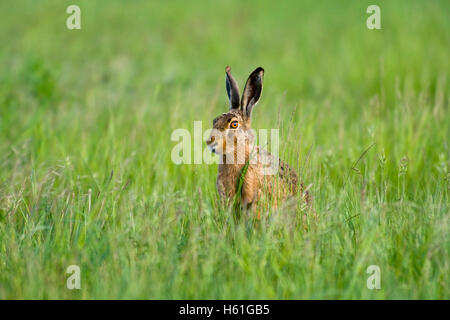 Hare (Lepus europaeus), Apetlon, Burgenland, Austria, Europe - Stock Photo