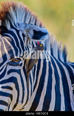 Plains Zebra or Burchell's Zebra (Equus quagga) and Red-billed Oxpecker (Buphagus erythrorhynchus), Ithala National - Stock Photo