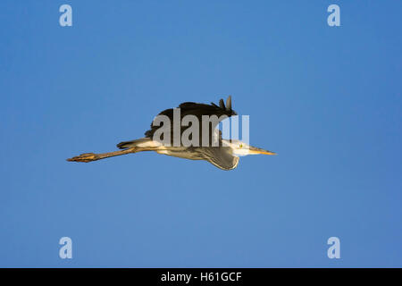 Grey Heron (Ardea cinerea), St. Lucia Wetland National Park, South Africa, Africa - Stock Photo
