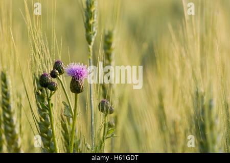 Thistle in a wheat field - Stock Photo