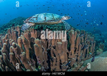 Hawksbill sea turtle swims over coral reef. - Stock Photo