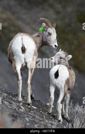 Rocky Mountain Bighorn sheep ewe and lamb (Ovis canadensis canadensis) in Sheep River Wildlife Sanctuary - Stock Photo