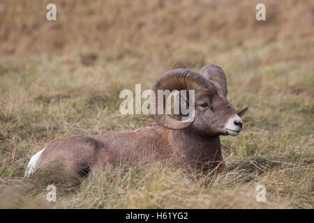 Rocky Mountain Bighorn sheep ram (Ovis canadensis canadensis), Sheep River Wildlife Sanctuary - Stock Photo