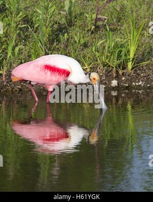 Roseate spoonbill (Platalea ajaja) foraging along pond edge - Stock Photo