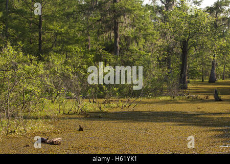 Louisiana bayou, water surface covered by Salvinia, an invasive plant. Turtle in foreground. - Stock Photo