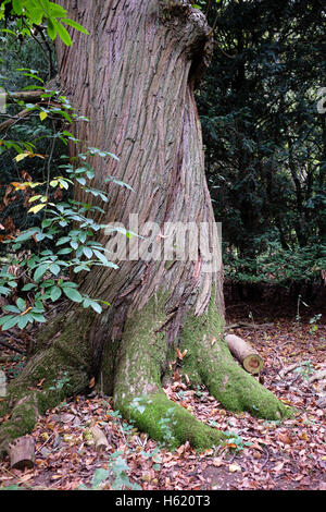 The twisted bole of an ancient sweet chestnut tree in Panshanger Park - Stock Photo
