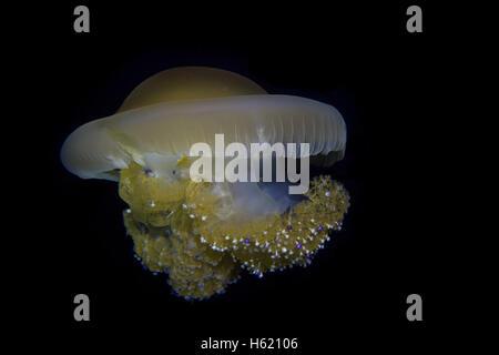 Mediterranean Fried egg Jellyfish, Cotylorhiza tuberculata, from Maltese waters. - Stock Photo