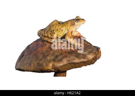 Common frog, Rana temporaria, single reptile on toadstool - Stock Photo