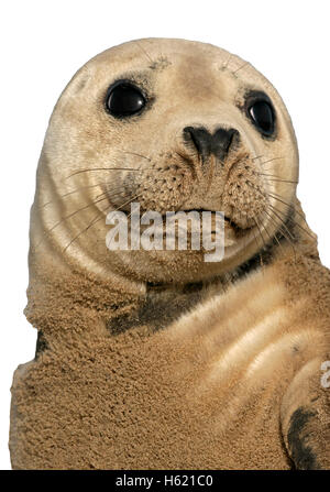 Grey seal, Halichoerus grypus, single mammal by water, Lincolnshire - Stock Photo