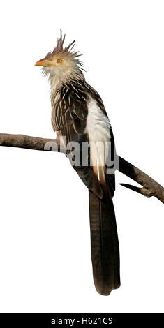 Guira cuckoo, Guira guira, single bird on branch,  Brazil - Stock Photo