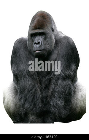 Western lowland gorilla, Gorilla gorilla, single mammal on grass - Stock Photo