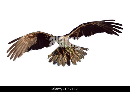 Marsh harrier, Circus aeruginosus, single female in flight with nest material, Poland - Stock Photo