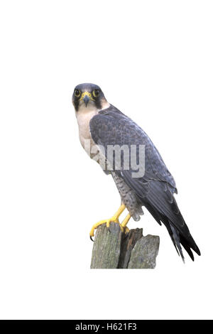 Peregrine, Falco peregrinus, single bird on post, UK - Stock Photo