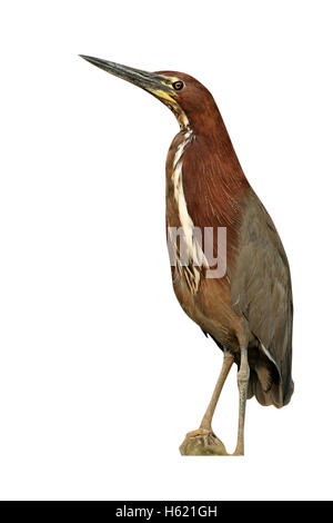 Rufescent tiger-heron, Tigrisoma lineatum,  single bird on post, Brazil - Stock Photo