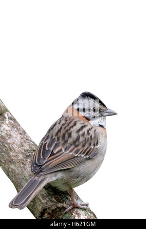 Rufous-collared sparrow, Zonotrichia capensis, single bird on perch, Brazil - Stock Photo