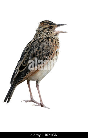 Rufous-naped lark, Mirafra africana, single bird on rock, Tanzania - Stock Photo