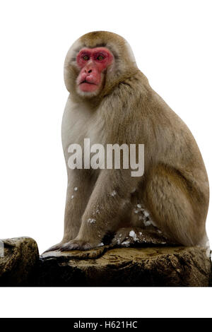 Snow monkey or Japanese macaque, Macaca fuscata, single mammal by water, Japan - Stock Photo