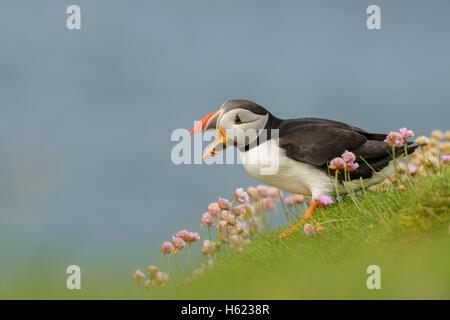Atlantic Puffin (Fratercula arctica) vocalising amongst Thrift (Armeria maritima), Westray, Orkney Islands, Scotland - Stock Photo