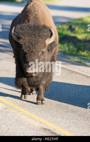 Lonely bison on the road in Yellowstone National Park, Wyoming, USA - Stock Photo