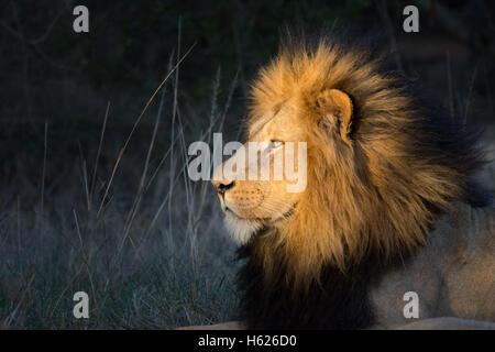 Lion resting, enjoying the setting sun. Side Profile - Stock Photo