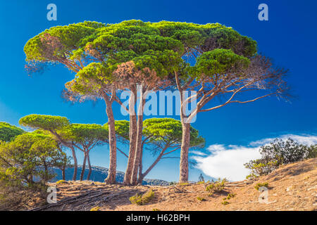 Pine trees on the beach in Corsica island, France, Europe. - Stock Photo