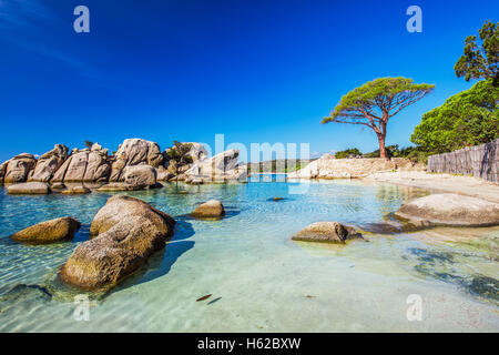 Famous pine tree on Palombaggia beach with azure clear water and sandy beach on the south part of Corsica, France - Stock Photo