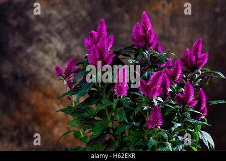 Plumed cockscomb, Celosia argentea - Stock Photo