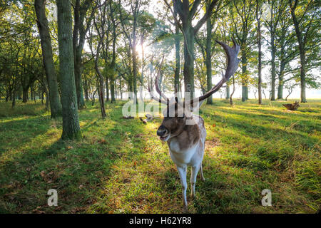 stag buck  with Antlers. deer in park - Stock Photo