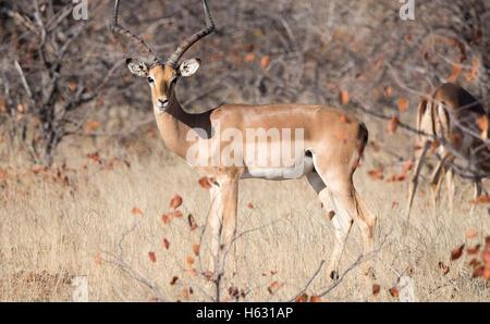 Impala Antelope (Aepyceros melampus) Standing in Brush in South Africa - Stock Photo