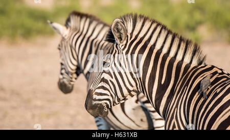 Portrait of a Wild Burchell's Zebra (Equus quagga burchellii) - Stock Photo