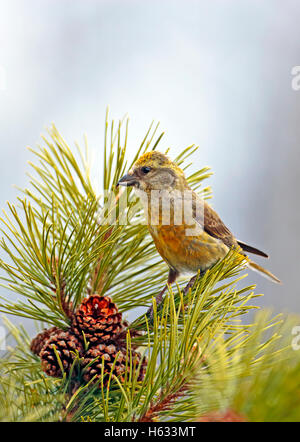 Female Cross-bill perched in pine tree looking to collect seeds from the pine cones. - Stock Photo