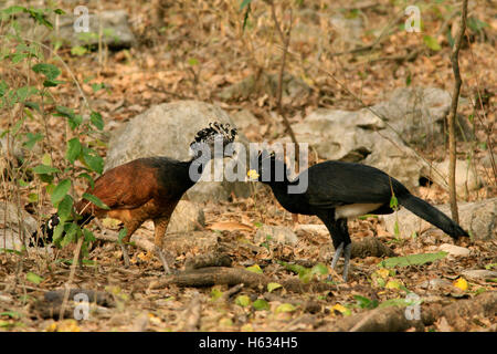Female and male great curassow (Crax rubra) in tropical dry forest. Palo Verde National Park, Guanacaste, Costa - Stock Photo