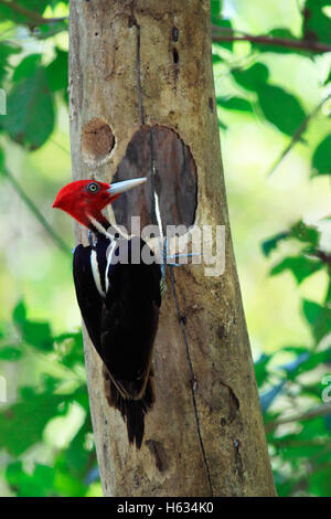 Pale-billed Woodpecker (Campephilus guatemalensis) male at nest hole. Curu Wildlife Refuge, Costa Rica. - Stock Photo