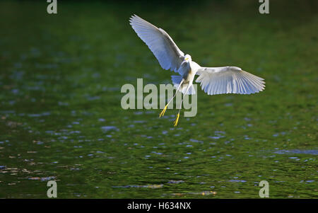 Snowy Egret (Egretta thula) flying over Río Claro, Corcovado National Park, Costa Rica. - Stock Photo
