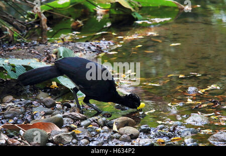 Male Great Curassow (Crax rubra) drinking from rainforest stream. Sirena, Corcovado National Park; Osa Peninsula; - Stock Photo