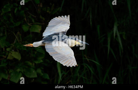 Black-crowned Night Heron (Nycticorax nycticorax) flying. Palo Verde National Park, Guanacaste, Costa Rica. - Stock Photo