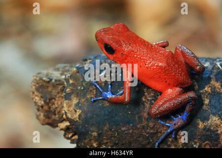 Blue jeans poison dart frog (Oophaga pumilio) in lowland rainforest. Cerro de Tortuguero, Costa Rica. - Stock Photo