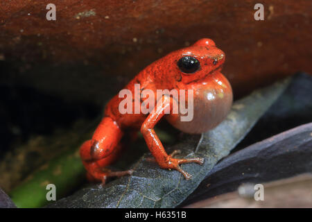 Male strawberry poison dart frog (Oophaga pumilio) calling in lowland rainforest near Puerto Viejo, south Caribbean, - Stock Photo