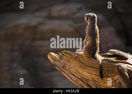 Sentry Meerkat (Suricata suricatta) keeps watch - Stock Photo