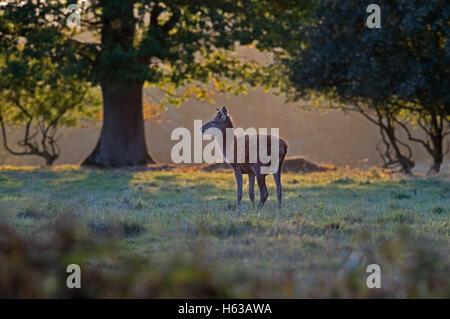 Female Red Deer (hind)-Cervus elaphus at sunset. Uk